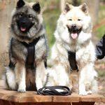 2 hunde på bord