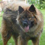 Rødbrun hund