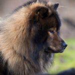 Vildtfarvet hund (2)